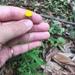 Coronidium rutidolepis - Photo (c) bennybotany85, all rights reserved