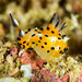 Polycera abei - Photo (c) jim-anderson, all rights reserved