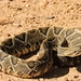 Neotropical Rattlesnake - Photo (c) Geraldo M. Pereira, all rights reserved