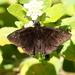 Ephyriades brunnea - Photo (c) Jay Keller, todos los derechos reservados, uploaded by Jay L. Keller