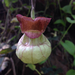 California Dutchman's Pipe - Photo (c) dirque, all rights reserved, uploaded by dirque