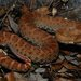 Crotalus willardi meridionalis - Photo (c) mike_rochford, todos los derechos reservados