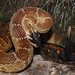 Crotalus molossus nigrescens - Photo (c) mike_rochford, כל הזכויות שמורות