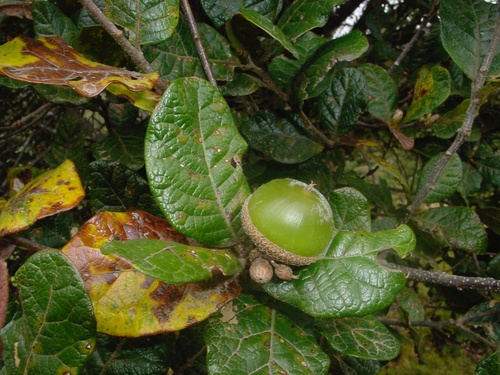 Quercus costaricensis image