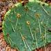 Opuntia cacanapa - Photo (c) Lex García, todos los derechos reservados