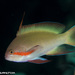 Threadfin Anthias - Photo (c) Tim Cameron, all rights reserved
