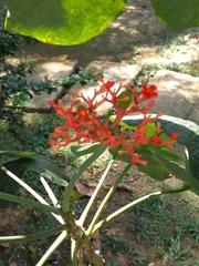 Jatropha podagrica image