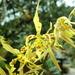 Cyrtochilum pardinum - Photo (c) rudygelis, όλα τα δικαιώματα διατηρούνται