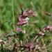 Odontites vulgaris - Photo (c) Tig, כל הזכויות שמורות