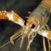 Nephropidae - Photo (c) jim-anderson, todos los derechos reservados