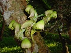 Catasetum maculatum image