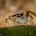 Graphopsocus cruciatus - Photo (c) Alice Abela, όλα τα δικαιώματα διατηρούνται