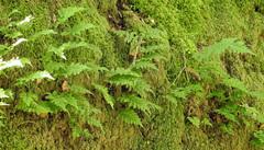 Polypodium calirhiza image