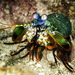 Mantis Shrimps - Photo (c) jim-anderson, all rights reserved