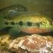 Hemichromis elongatus - Photo (c) Carol O'Neill, todos os direitos reservados