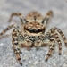 Fencepost Jumping Spider - Photo (c) Marcello Consolo, all rights reserved