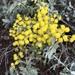 Acacia Mimosa Australiana - Photo (c) Ashton Huge, todos los derechos reservados