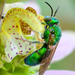 Augochloropsis - Photo (c) amoorehouse, all rights reserved