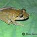 Pristimantis viejas - Photo (c) jhon_sarria, todos los derechos reservados, uploaded by jhon_sarria