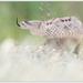 Western Diamondback Rattlesnake - Photo (c) Thor Håkonsen, all rights reserved