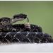 Cascabel Negra de Arizona - Photo (c) Thor Håkonsen, todos los derechos reservados