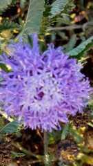 Centratherum punctatum image