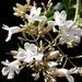 Fridericia florida - Photo (c) Laurent Quéno, todos los derechos reservados