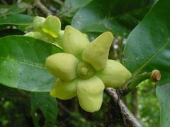 Guatteria oliviformis image