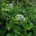 Heliotropium sarmentosum - Photo (c) hanklee, all rights reserved