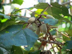 Image of Hampea platanifolia