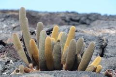 Brachycereus nesioticus image