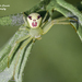 Triangle Crab Spider - Photo (c) Marcello Consolo, some rights reserved (CC BY-NC-SA)