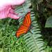 Mariposa Naranja Alas de Daga - Photo (c) Felipe Facklam, todos los derechos reservados