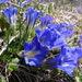 Gentiana grandiflora - Photo (c) Татьяна Маврина, todos los derechos reservados