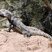 San Esteban Island × Sonoran Spiny-tailed Iguana - Photo (c) David Bygott, some rights reserved (CC BY-NC)