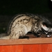 Southeast Asian Palm Civet - Photo (c) Don-Jean Léandri-Breton, all rights reserved