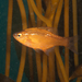 Kelp Surfperch - Photo (c) Patrick Webster, all rights reserved