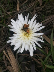 Hypochaeris sessiliflora image