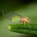 Psyllids - Photo (c) Alice Abela, all rights reserved