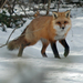 Typical Foxes - Photo (c) Larry Clarfeld, all rights reserved