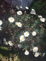 Image of Argyranthemum frutescens