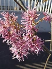 Chionanthus pubescens image