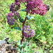 Hylotelephium telephium purpureum - Photo (c) Татьяна Маврина, all rights reserved