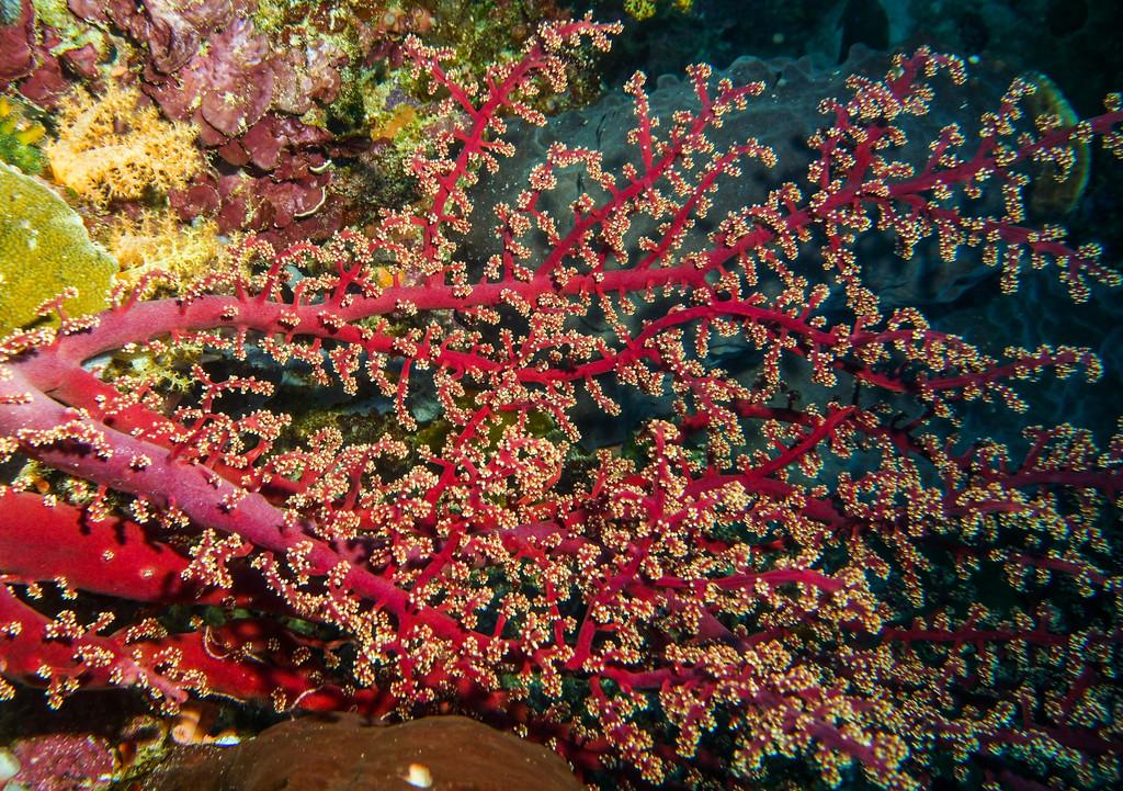 Siphonogorgia godeffroyi (Pink soft coral)