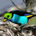 Tangara Tanagers - Photo (c) Ingrid Macedo, all rights reserved