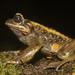 Pelado Mountains False Toad - Photo (c) Bernardo Segura Silva, all rights reserved
