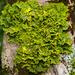 Lobariaceae - Photo (c) Wendy Feltham, todos los derechos reservados