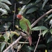 Rose-fronted Parakeet - Photo (c) shrike2, all rights reserved