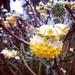 Edgeworthia chrysantha - Photo (c) Erika Pallas Moore, todos los derechos reservados