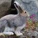 Arctic Hare - Photo (c) Don-Jean Léandri-Breton, all rights reserved